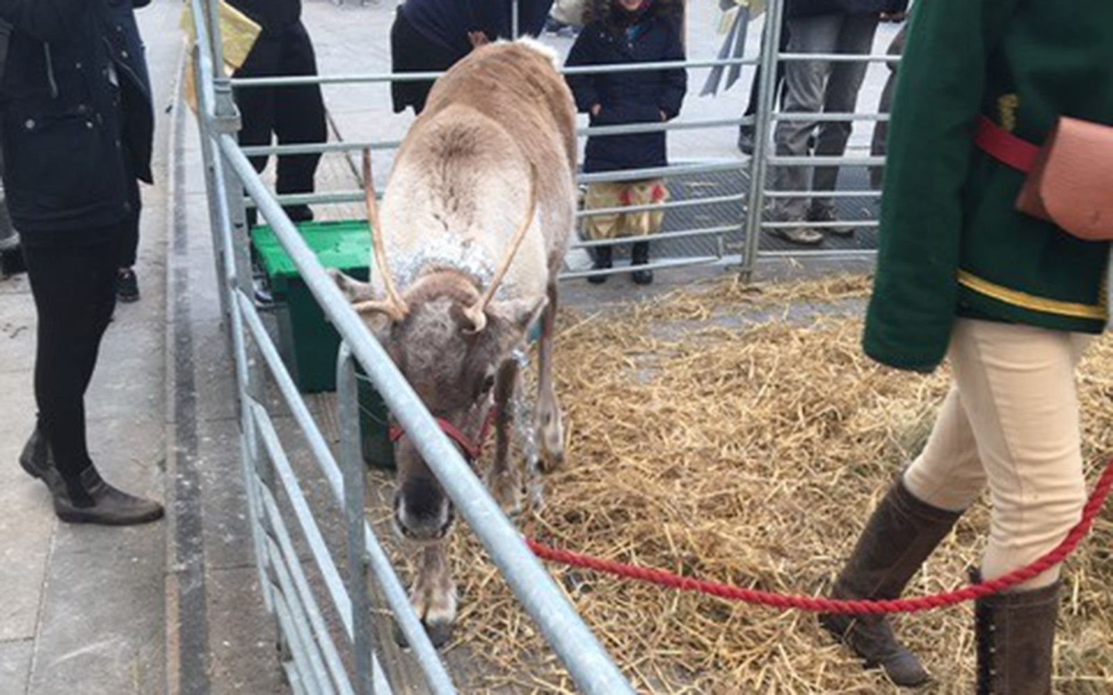 A reindeer at a small holiday fair (Brendan Mulcahey/UConn School of Business)