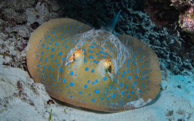 The Bluespotted Stingray
